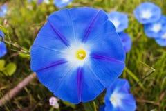 蓝色花在泰国 免版税库存图片