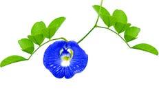 蓝色花在白色背景或蓝色豌豆隔绝的蝴蝶豌豆 免版税库存图片