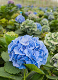 蓝色花在荷兰语八仙花属苗圃 免版税库存照片