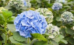 蓝色花在荷兰语八仙花属苗圃 图库摄影