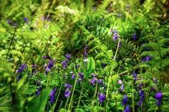蓝色花地毯在春天的森林里 免版税库存照片