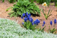 蓝色花增长在房子附近的花圃 免版税库存照片