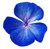 蓝色花大竺葵 白色与裁减路线的被隔绝的背景 特写镜头没有阴影 库存图片