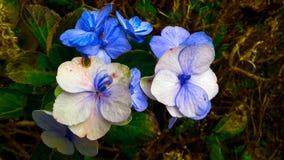 蓝色花已经退了色代表时间消逝 库存照片