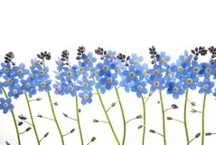 蓝色花忘记我没有 库存照片