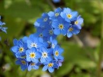 蓝色花忘记我没有 库存图片