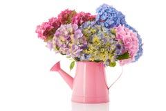 蓝色花束八仙花属粉红色 库存图片