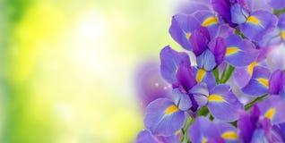 蓝色花束幻想虹膜 免版税图库摄影