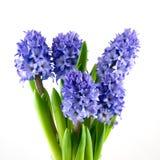 蓝色花束风信花 库存照片