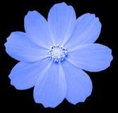 蓝色花樱草属 与裁减路线的黑色被隔绝的背景 特写镜头 免版税图库摄影