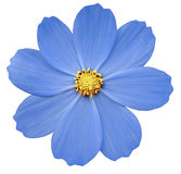 蓝色花樱草属 白色与裁减路线的被隔绝的背景 特写镜头 免版税库存照片
