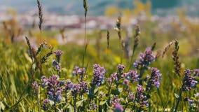 蓝色花的绿色新水多的春天草和领域在亚美尼亚 股票录像