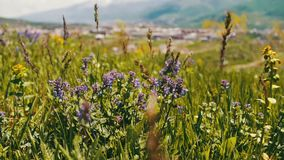 蓝色花的绿色新水多的春天草和领域在亚美尼亚 股票视频