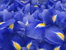 蓝色花虹膜 背景美丽的刀片花园 特写镜头 图库摄影
