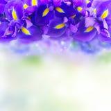 蓝色花虹膜 库存照片