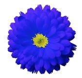 蓝色花金盏草 白色与裁减路线的被隔绝的背景 免版税库存照片