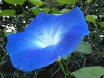 蓝色花,三色的番薯属 库存图片