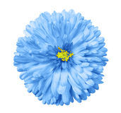 蓝色花,白色隔绝了与裁减路线的背景 特写镜头 免版税库存照片