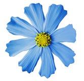 蓝色花kosmeya,白色隔绝了与裁减路线的背景 特写镜头没有阴影 黄色中间 免版税图库摄影