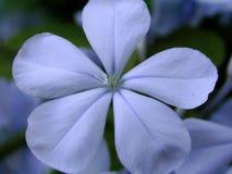 蓝色花plumbego 库存照片