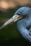 蓝色苍鹭一点 库存图片
