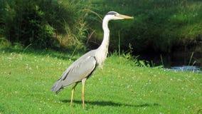 蓝色苍鹭在公园在恩斯赫德 免版税库存照片
