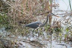 蓝色苍鹭在沼泽 免版税库存照片