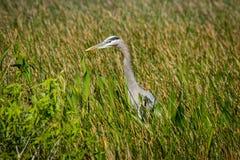 蓝色苍鹭在草甸 库存照片