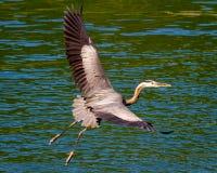蓝色苍鹭在飞行中在绿色湖 免版税库存照片