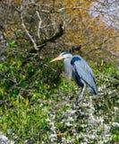 蓝色苍鹭坐开花的chery树 库存图片