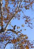 蓝色苍鹭坐树枝 免版税图库摄影