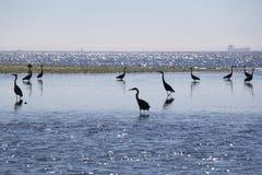 蓝色苍鹭处于低潮中 免版税库存图片