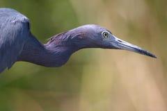蓝色苍鹭扭转的一点 免版税库存照片