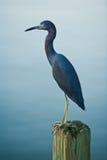 蓝色苍鹭木少许的打桩 免版税图库摄影