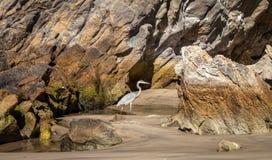 蓝色苍鹭沙子和岩石 库存图片
