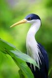 蓝色苍鹭白鹭 库存图片