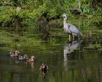 蓝色苍鹭观看野鸭鸭子 免版税图库摄影