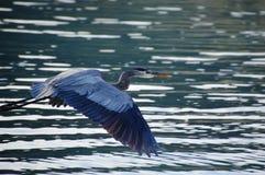 蓝色苍鹭飞行在下加利福尼亚州del苏尔,墨西哥 免版税库存图片