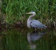 蓝色苍鹭,华盛顿州 库存图片