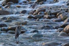 蓝色苍鹭,华盛顿州 免版税库存图片