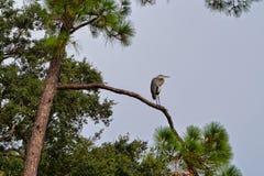 蓝色苍鹭,蓝天,高杉木 库存图片