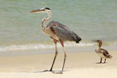 蓝色苍鹭&在海滩的红色Breasted秋沙鸭 库存照片