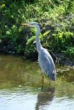 蓝色苍鹭寻找在一个小垄沟的食物 免版税库存图片