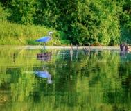 蓝色苍鹭 免版税图库摄影
