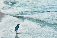 蓝色苍鹭 库存图片