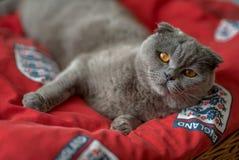 蓝色苏格兰人折叠猫在隆重放置 免版税库存照片