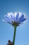 蓝色苦苣生茯黑暗的花普通 库存图片