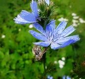 蓝色苦苣生茯 库存照片