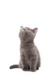 蓝色英国小猫shothair 库存图片