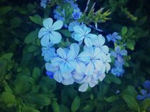 蓝色茉莉花,美丽的花,绿色背景,自然 免版税图库摄影